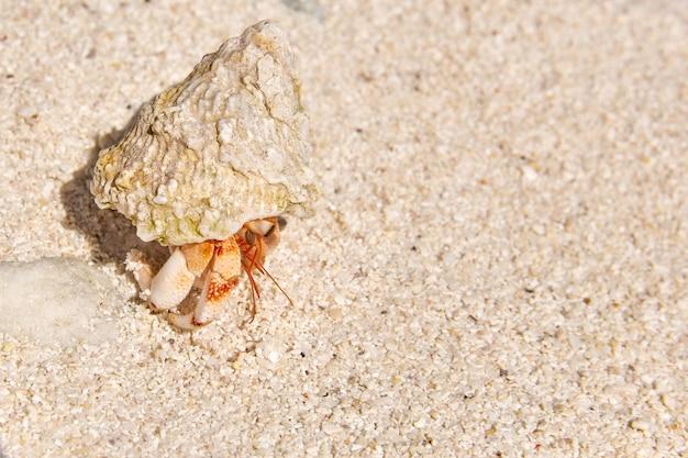 Granchio eremita sulla spiaggia di un'isola tropicale delle maldive.