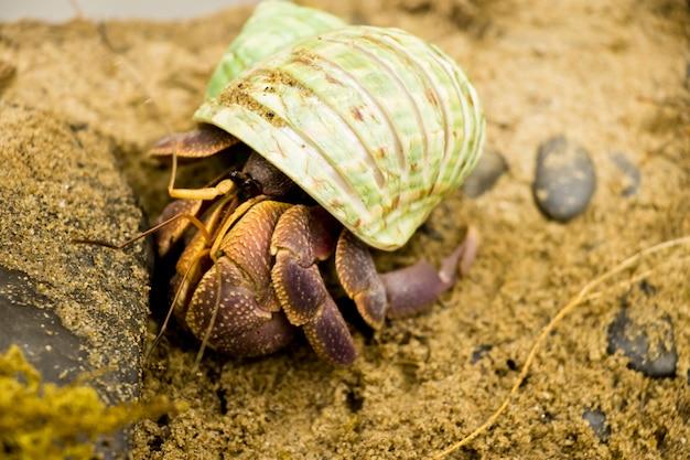 Granchio eremita è guscio colorato, bel granchio.