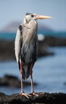 L'airone è in piedi sulle rocce sopra l'oceano. le isole galapagos. uccelli. ecuador.