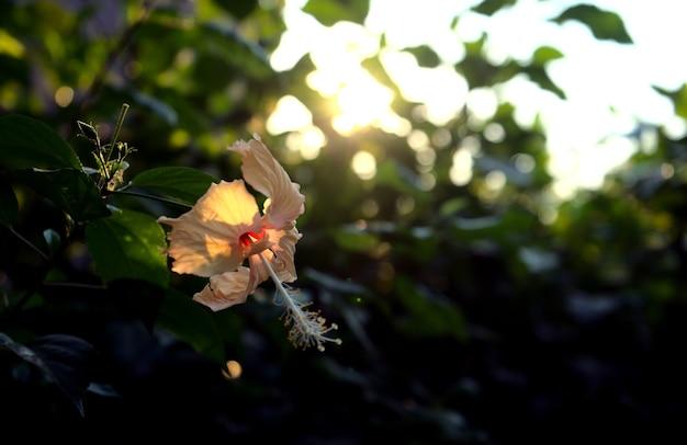 Fiore di ibisco petali giallo pastello beige chiaro giungla con luce solare dorata al tramonto