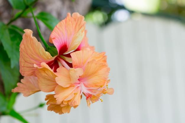 Fiori di ibisco - fiori d'arancio
