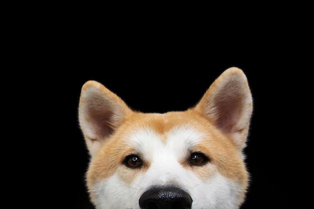 Nascondi lo sguardo del cane akita. isolato su uno spazio nero.