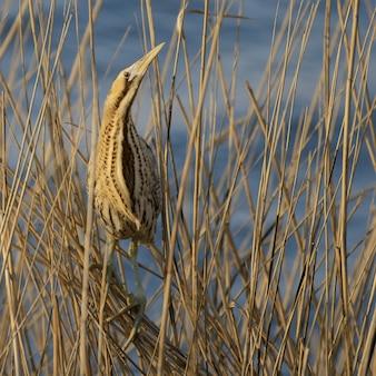 Nascondere uccello tarabuso eurasiatico seduto sulla canna botaurus stellaris