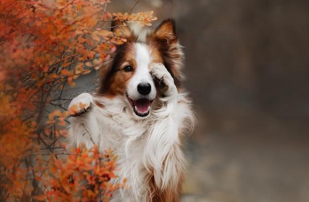Nascondere il cane border collie