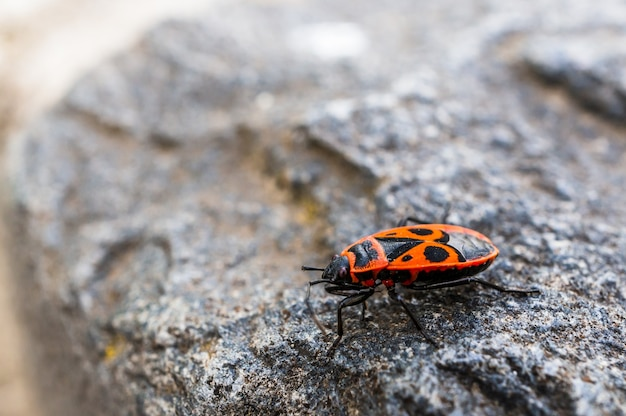 Primo piano ad alto angolo di un piccolo insetto nero e arancione che cammina sulla superficie di una roccia
