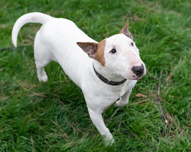 Inquadratura dall'alto di un cane bull terrier in piedi sull'erba