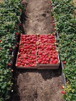 Colpo ad alto angolo di fragole fresche in casse durante il giorno