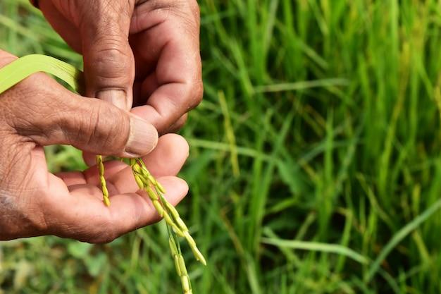 Mano e orecchio del coltivatore di vista di alto angolo di riso verde nel fuoco selettivo
