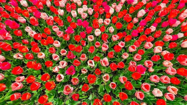 Veduta dall'alto di un campo di tulipani rossi