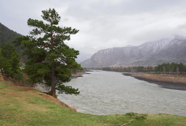 Cedro alto sulla ripida sponda verde del fiume tappeto verde nelle montagne all'inizio della primavera