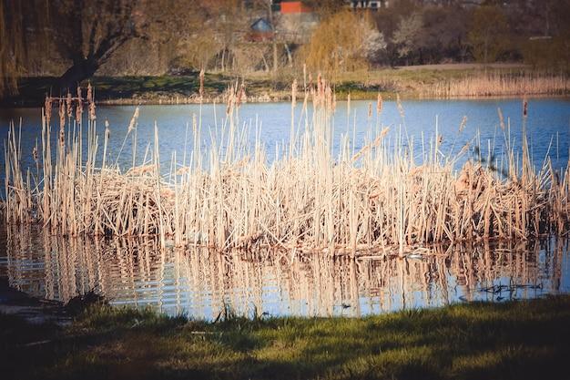 Erba alta secca nell'acqua vicino al filtro verde della riva,