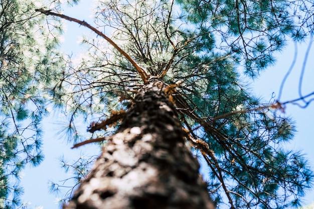Pino alto visto da terra - pinta di vista alternativa dell'albero nella natura all'aperto - concetto della giornata della terra