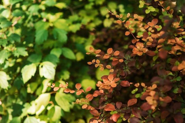 Trama ad alta risoluzione. il ramo verde del cespuglio barbaris è grande con uno sfondo sfocato.