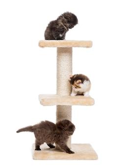 Popolare dell'altopiano e gattini diritti che giocano su un albero di gatto isolato su bianco