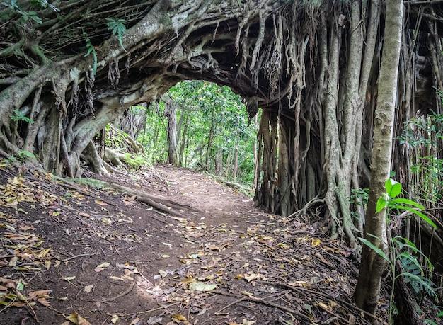 Sentiero escursionistico nella giungla incurvato da un albero sparato vicino a honolulu