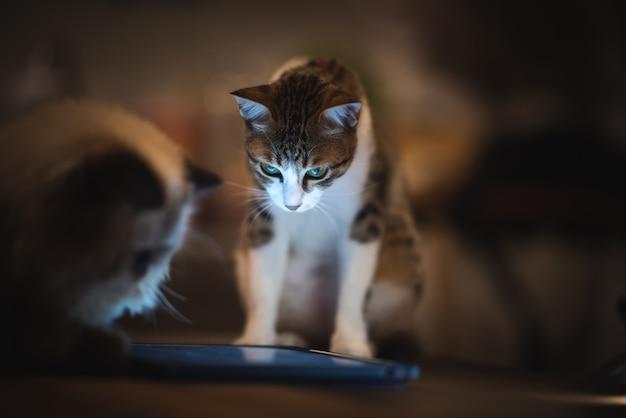 Gatto persiano himalayano che gioca compressa, stile di vita a casa con l'animale domestico