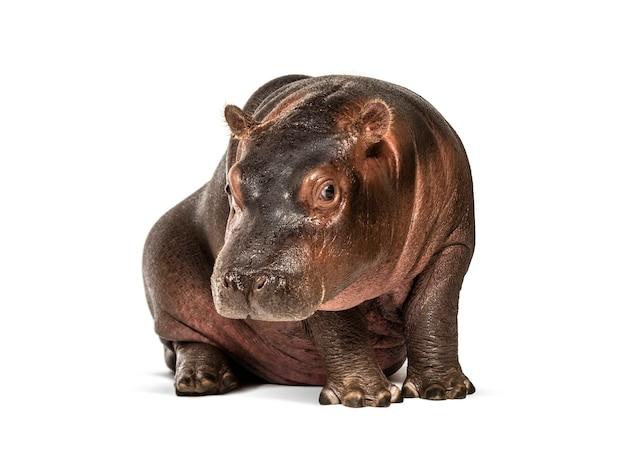 Vitello di ippopotamo, 3 mesi, isolato, hippopotamus amphibius