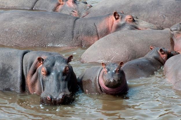 Fauna selvatica ippopotamo in kenya