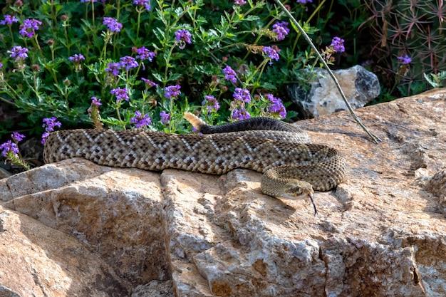 Serpente a sonagli della costa occidentale messicana sibilante arrotolato su un masso da giardino