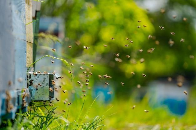 Alveari in un apiario con api che volano verso le tavole di atterraggio.