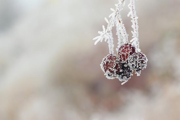 Bacca rossa ricoperta di brina nella foresta invernale.