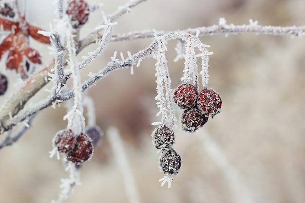 Bacca invernale rossa ricoperta di brina.