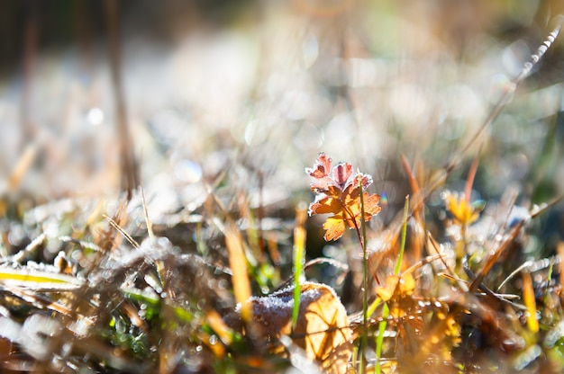 Brina sulle piante nella foresta autunnale. immagine macro, profondità di campo ridotta. bellissimo sfondo della natura
