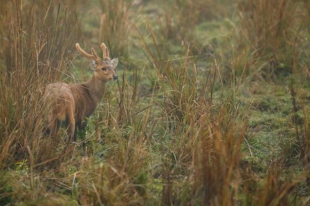 Cervo maiale nella foresta del parco nazionale di kaziranga in assam