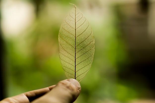 Tenendo la foglia di natura trasparente su sfondo verde natura