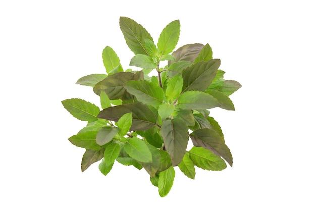 Basilico santo o alberi e foglie di basilico sacro sulla natura con il percorso di residuo della potatura meccanica.