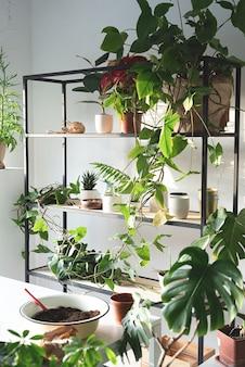 Giardinaggio domestico. area di lavoro con piante e tavolo per giardinaggio domestico. mensole e tavoli per piante. tramonto, luce intensa