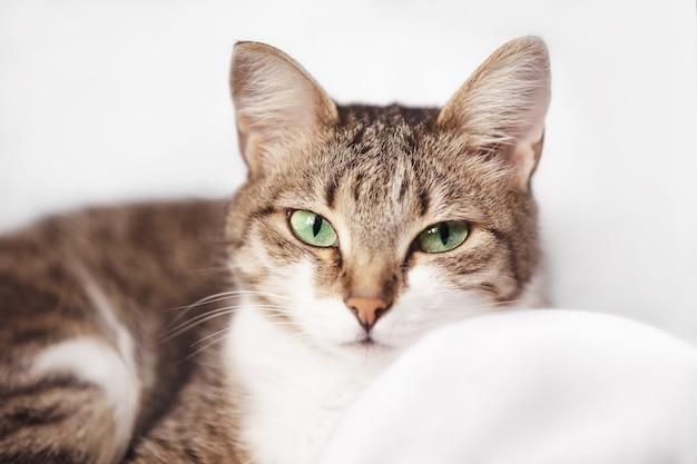 Gatto domestico grigio con occhi verdi su sfondo bianco