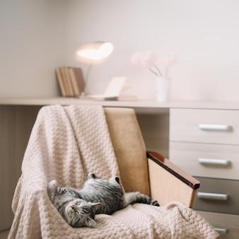Gatto sveglio dell'animale domestico domestico che si trova sulla poltrona a casa. ritratto di gatto soriano grigio dritto scozzese carino.