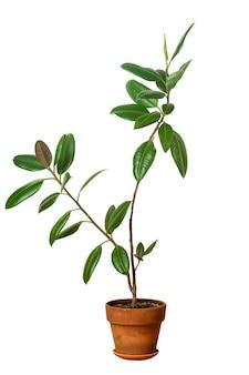 Ficus di piante domestiche in un vaso di argilla fiore di ficus isolato su sfondo bianco foto di alta qualità Foto Premium