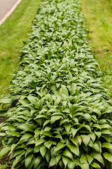 Pianta domestica. oste in giardino. pianta ospite nel parco
