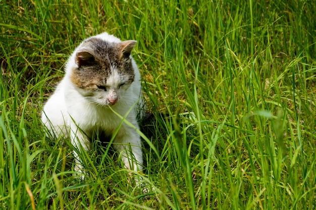 Il gatto tricolore (bianco, nero e marrone) senzatetto con il naso graffiato. un gatto randagio mente e guarda pensieroso l'erba verde.