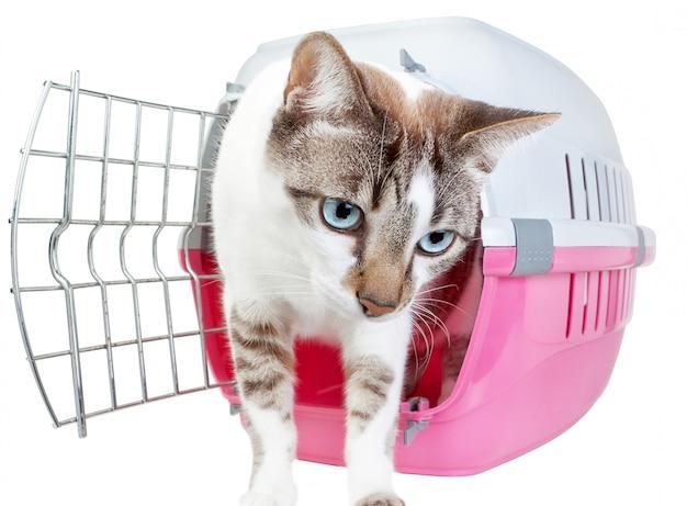 Simpatico gatto fatto in casa fuori dalla gabbia. su un muro bianco