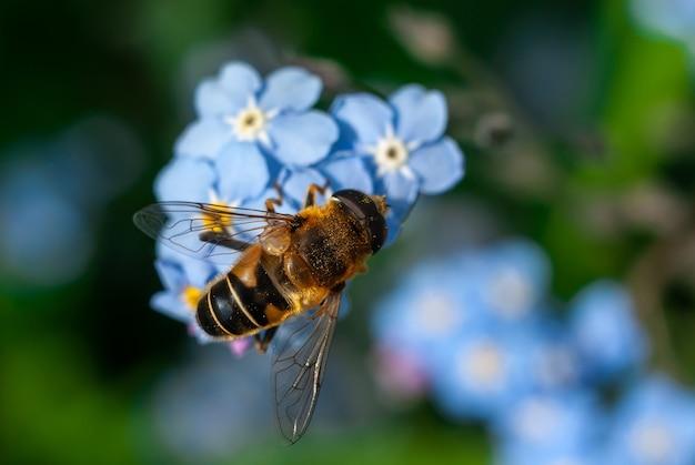 Ape del miele che raccoglie il polline da alcuni fiori blu del nontiscordardime