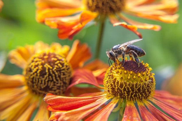 Il miele delle api ricoperte di polline giallo beve il nettare, impollinando i fiori d'arancio. primavera floreale naturale ispiratrice o giardino fiorito estivo o sfondo del parco.