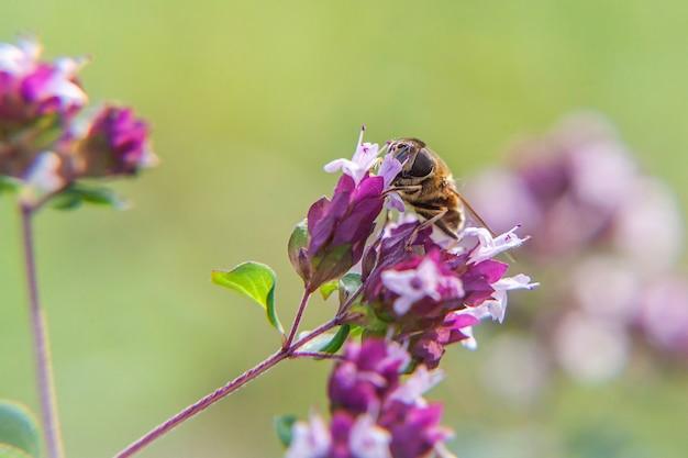 Ape mellifera ricoperta di polline giallo beve nettare, fiore rosa impollinatore