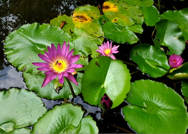 Ape del miele che impollina di una ninfea viola o di un fiore di loto con foglia verde nello stagno