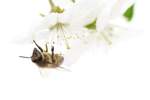 Ape e fiori di ciliegio bianco