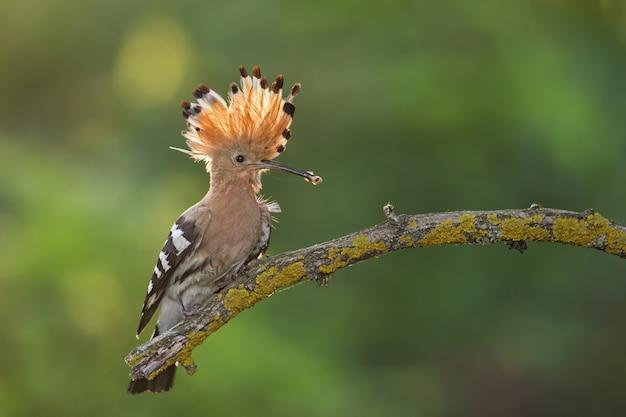 Upupa, upupa epops, seduto su un ramoscello con cresta aperta e afferrare il becco.