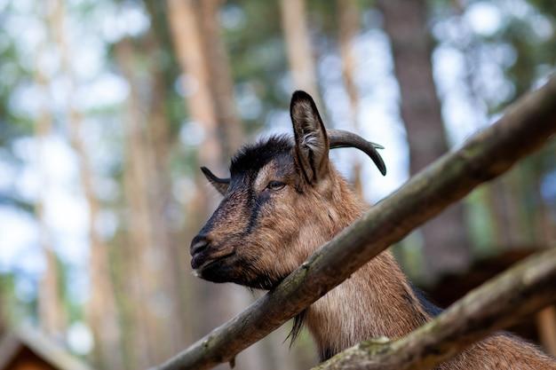 Una capra cornuta si affaccia attraverso una staccionata di legno. l'animale chiede cibo ai visitatori. angolo rurale.