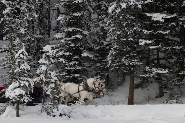 Slitta trainata da cavalli, lake louise, parco nazionale di banff, alberta, canada