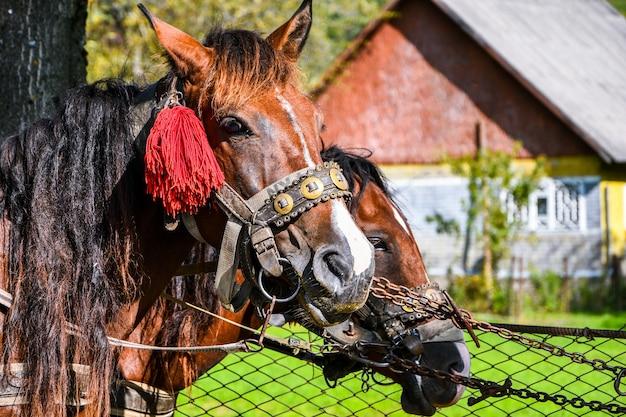 Testa di cavallo con imbracatura tradizionale. cavalli da trasporto. ritratto di cavallo