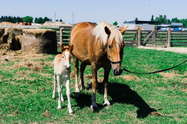 Cavalla e il suo puledro molto piccolo in una fattoria