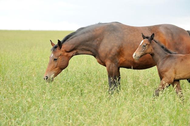 Il cavallo corre al galoppo sul campo