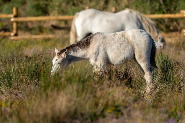 Cavalli della camargue nel parco naturale delle paludi di ampurdán, girona, catalogna, spagna.