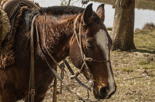 Cavalli di razza creola in fattoria.